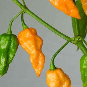 Dorset Naga Orange Chilipflanze