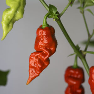 Red Bhutlah Chilipflanze