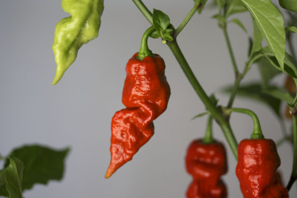 Red Bhutlah Chilipflanze