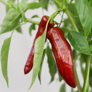 Guajillo Chilipflanze