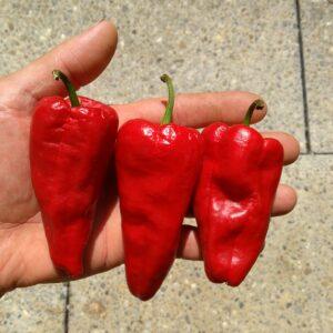 Leutschauer Schotenpfeffer Chilis