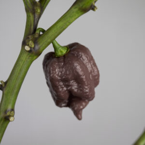 Trindiad Scorpion Moruga Chocolate Chilipflanze