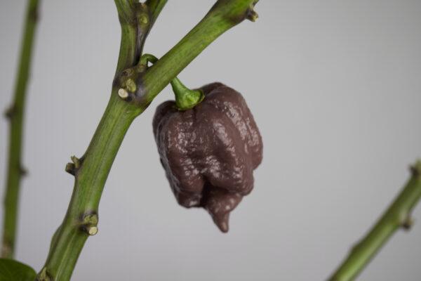 Trindiad Scorpion Moruga Chocolate Chilipflanze
