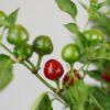 Teufelskuss Chilipflanze