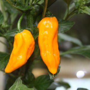 Bhut Jolokia Yellow Chilipflanze
