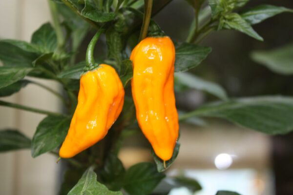 Bhut Jolokia Yellow Chilipflanze